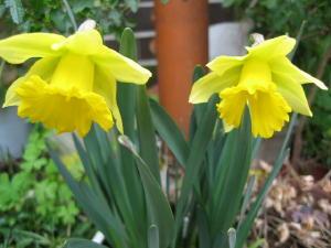 ラッパ水仙が咲いたよ!_c0052576_21245685.jpg