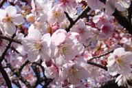 桜咲く2_b0034758_23562819.jpg