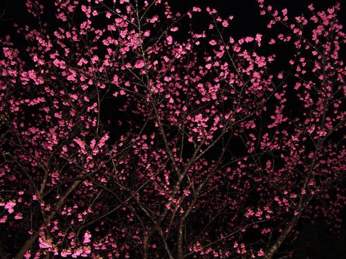 2/9 夜桜_a0010095_146227.jpg