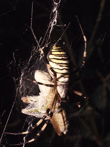 3カ国対抗 捕食するクモたち_b0025008_21161720.jpg