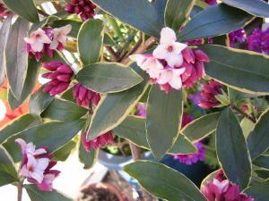 もう・・・沈丁花の花が咲いていました。_c0052576_179754.jpg