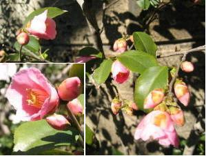 小さな小さなピンクの椿_c0052576_20592624.jpg