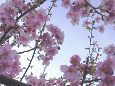 2月25日 寒桜_a0001354_19373399.jpg