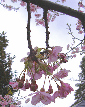 2月25日 寒桜_a0001354_19374847.jpg