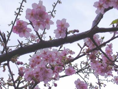 2月25日 寒桜_a0001354_1937938.jpg