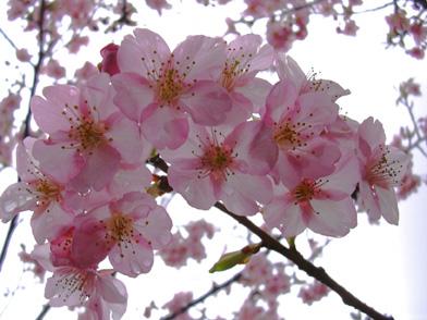 2月25日 寒桜_a0001354_1938290.jpg