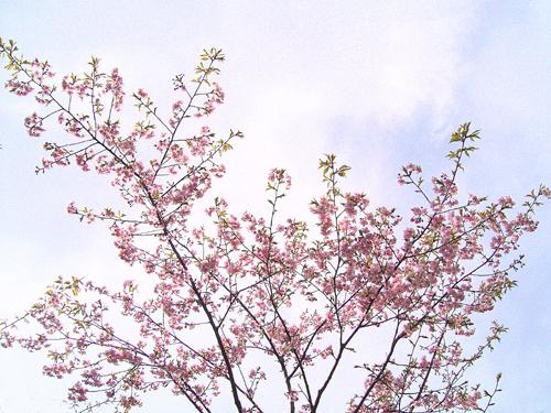 皇居の一番桜。_b0022268_2152161.jpg