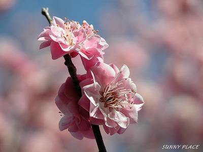 春の香 - 京王百草園_c0027027_22594130.jpg
