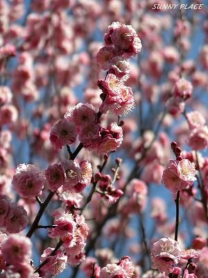 春の香 - 京王百草園_c0027027_22595111.jpg