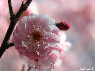春の香 - 京王百草園_c0027027_23001.jpg