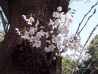 鎌倉・桜だより_c0059854_1911410.jpg