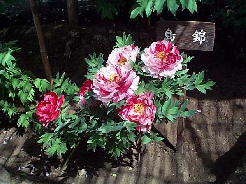 鎌倉・ぼたんの花_c0059854_23194732.jpg