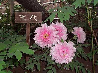 鎌倉・ぼたんの花_c0059854_23232340.jpg