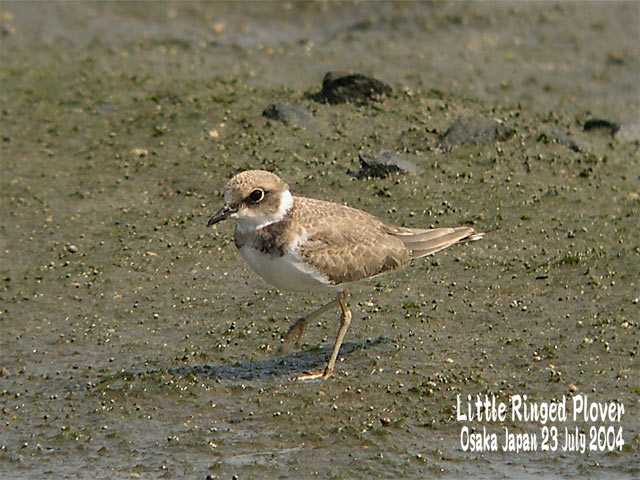 コチドリ   Little Ringed Plover_c0071489_0394293.jpg