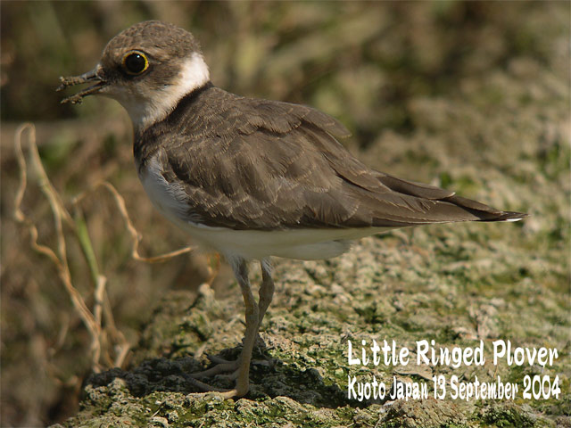 コチドリ   Little Ringed Plover_c0071489_1132210.jpg