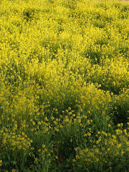 満開の菜の花畑_a0026295_20272043.jpg