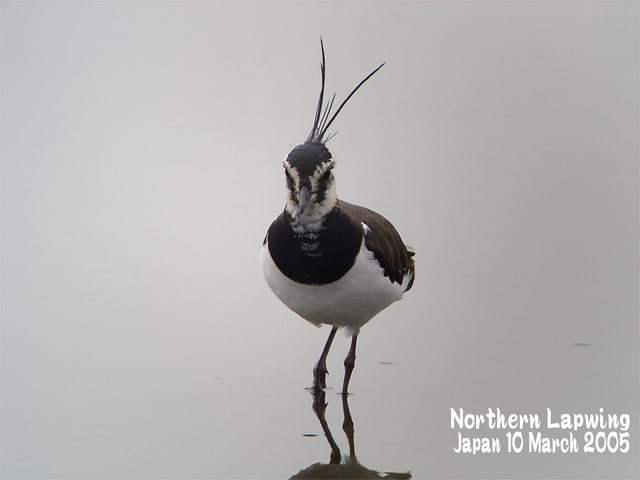 タゲリ   NorthenLapwing_c0071489_1233669.jpg