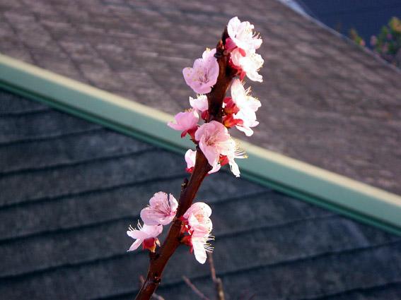 我が心は狂い咲きの梅の花かな!?_c0035838_23134223.jpg