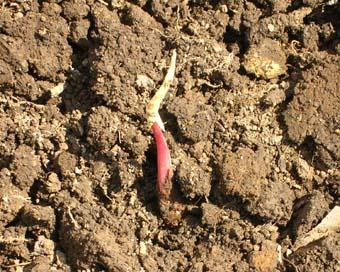 アカメやヤツガシラの種芋が生きていた!(05・3・27)_c0014967_1643379.jpg