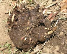 アカメやヤツガシラの種芋が生きていた!(05・3・27)_c0014967_1673984.jpg