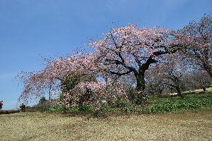桜の季節になりました_a0027275_2191914.jpg