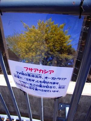 ミモザの花_c0019551_20593684.jpg