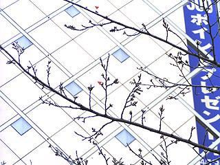 桜はまだか?_b0056983_13385515.jpg