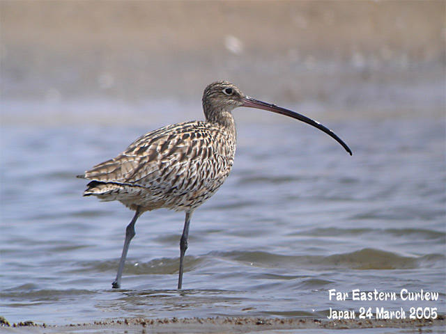 ホウロクシギ 1 Far Eastern Curlew1_c0071489_1415144.jpg