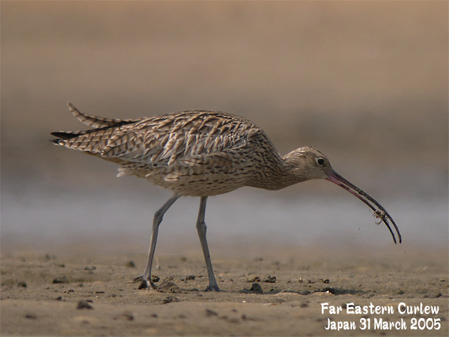 ホウロクシギ 1 Far Eastern Curlew1_c0071489_1423836.jpg