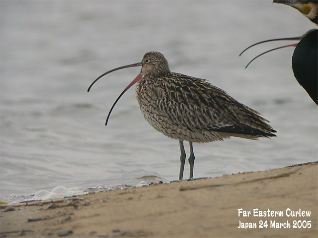 ホウロクシギ 1 Far Eastern Curlew1_c0071489_1431649.jpg