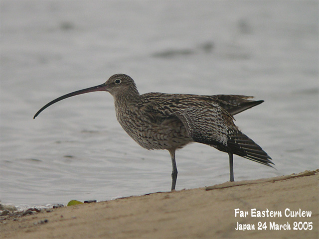 ホウロクシギ 1 Far Eastern Curlew1_c0071489_1433243.jpg