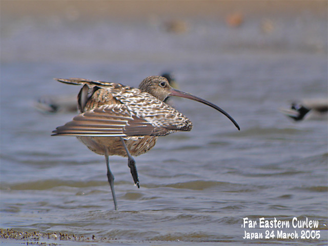 ホウロクシギ 1 Far Eastern Curlew1_c0071489_1442359.jpg
