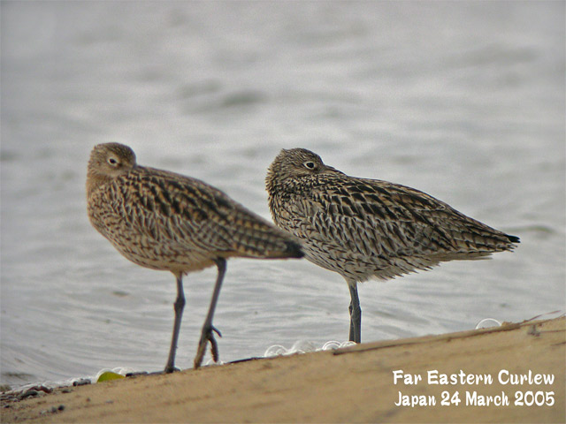 ホウロクシギ 1 Far Eastern Curlew1_c0071489_145085.jpg