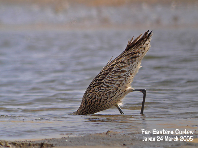 ホウロクシギ 1 Far Eastern Curlew1_c0071489_23412659.jpg