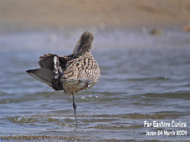 ホウロクシギ 1 Far Eastern Curlew1_c0071489_22584859.jpg