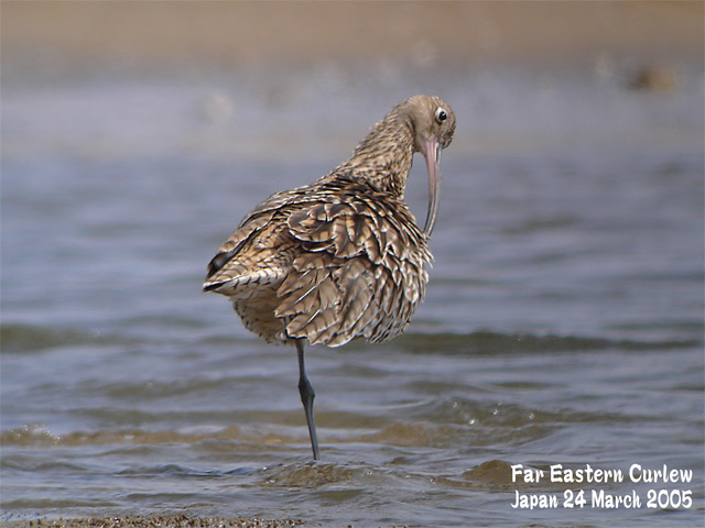 ホウロクシギ 1 Far Eastern Curlew1_c0071489_22591411.jpg