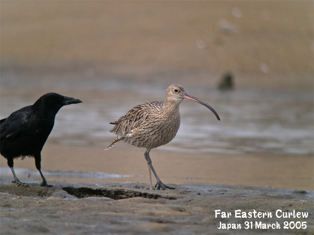 ホウロクシギ 1 Far Eastern Curlew1_c0071489_0221848.jpg