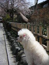祇園の桜どすえ_c0049950_22271119.jpg