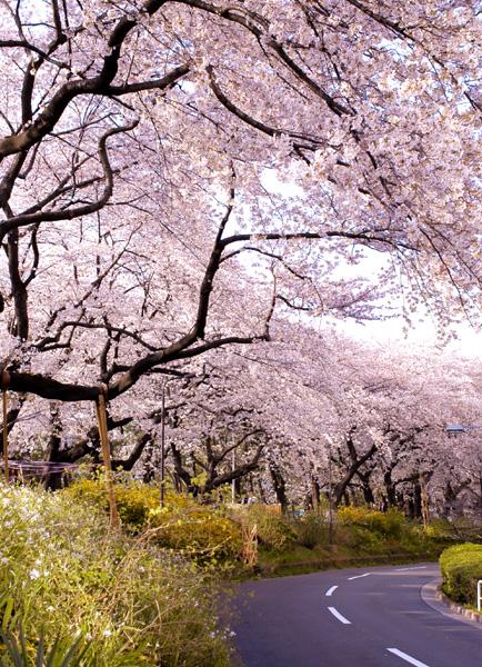 市ヶ谷・四ツ谷の桜_a0003650_23432572.jpg