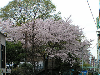 桜@渋谷 4月7日 ほぼ満開!_b0056983_13143356.jpg