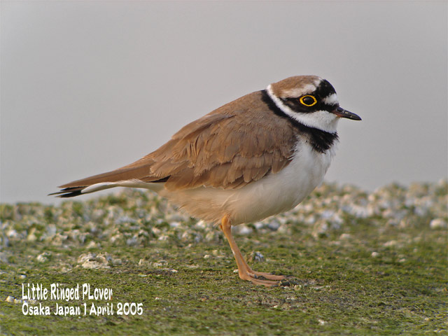 コチドリ   Little Ringed Plover_c0071489_23452261.jpg