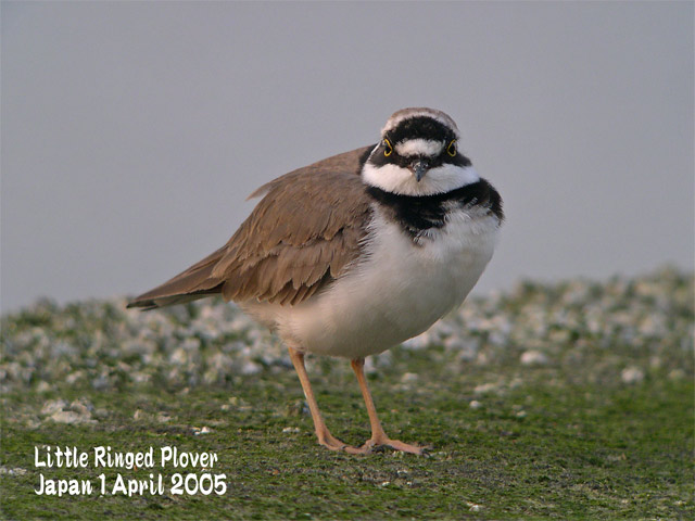 コチドリ   Little Ringed Plover_c0071489_23453311.jpg