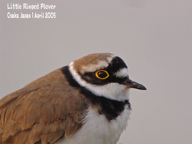 コチドリ   Little Ringed Plover_c0071489_234541100.jpg