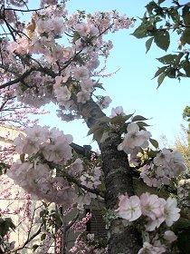 桜咲く_a0019755_18361049.jpg