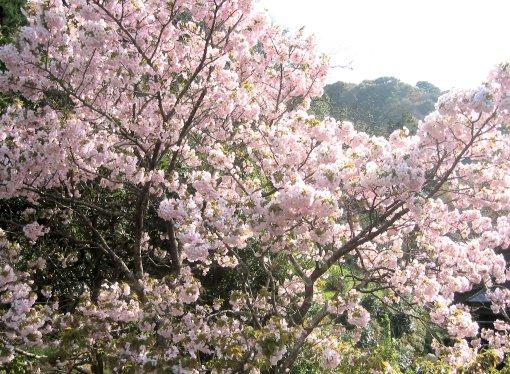 桜咲く_a0019755_1852486.jpg