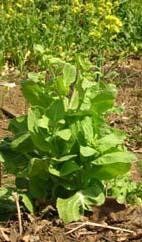 ショウガの植え付けとヤマザクラの開花(05・4・6)_c0014967_4145481.jpg