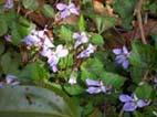 ショウガの植え付けとヤマザクラの開花(05・4・6)_c0014967_46941.jpg