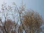 ショウガの植え付けとヤマザクラの開花(05・4・6)_c0014967_475221.jpg