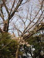 ショウガの植え付けとヤマザクラの開花(05・4・6)_c0014967_483930.jpg