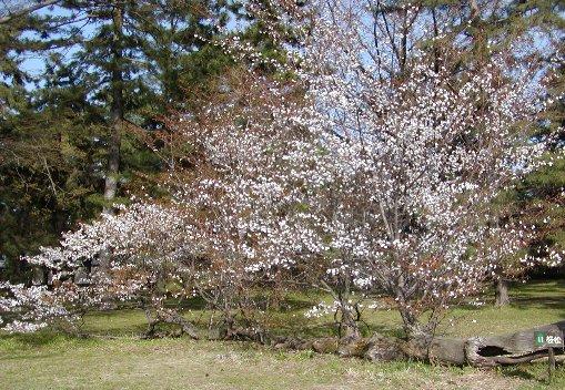 松木の桜_c0057390_11788.jpg